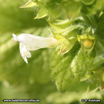Melisse (Melissa officinalis), Blüte
