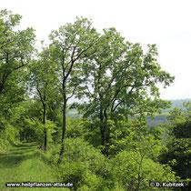 Die Flaum-Eiche (Quercus pubescens) ist wärmeliebend. In Deutschland  kommt sie nur in wenigen Regionen vor, wie hier an einem Hang im Oberrheintal (Baden-Württemberg)