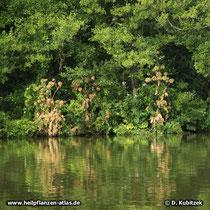 Echte Engelwurz (Angelica archangelica), Standort am Ufer des Main in Unterfranken (Bayern)