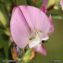 Dornige Hauhechel (Ononis spinosa) aufgeblüht
