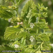 Melisse (Melissa officinalis), Blütenstand