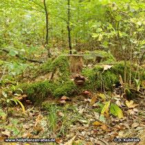Standort: Der Glänzende Lackporling (Ganoderma lucidum) wächst hier auf einem Baumstumpf in einem Laubwald in Unterfranken (Bayern).