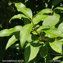 Hänge-Forsythie (Forsythia suspensa), Zweig