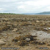Blasentang (Fucus vesiculosus), Standort, hier an der Westküste von Schottland