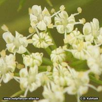 Zahnstocher-Ammei (Ammi visnaga), Blüten