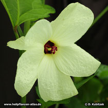Maniok-Bisameibisch (Abelmoschus manihot), Blüte