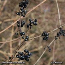 Purgier-Kreuzdorn (Rhamnus catharticus): Auch nach dem Laubabfall im Herbst hängen am Strauch noch Früchte (hier: im Dezember)