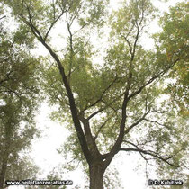 Bruch-Weide (Salix fragilis), Wuchsform