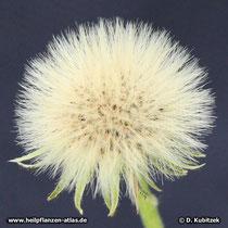 Kleines Habichtskraut (Hieracium pilosella), Samenstand