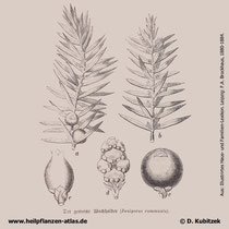 Gewöhnlicher Wacholder, Juniperus communis