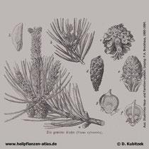 Gewöhnliche Kiefer (Pinus sylvestris), historische Grafik