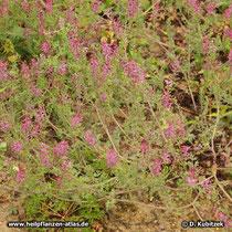 Gewöhnlicher Erdrauch (Fumaria officinalis), blühende Pflanze