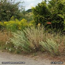 Wermut (Artemisia absinthium), Standort am Wegrand (Magdeburger Börde, Sachsen-Anhalt)