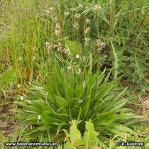 Spitz-Wegerich (Plantago lanceolata), Wuchsform