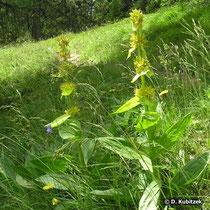Gelber Enzian (Gentiana lutea), Wuchsform