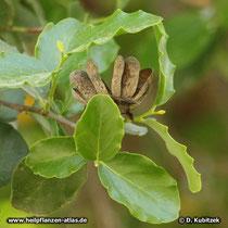 Seifenrindenbaum (Quillaja saponaria), Balgfrucht und Blätter