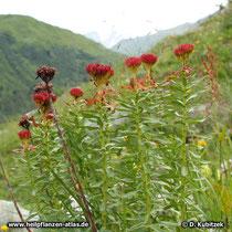 Die Rosenwurz (Rhodiola rosea) ist verstreut auch in den Alpen zu finden, so wie hier in den Hohen Tauern (Österreich) auf ca. 2.000 m Höhe