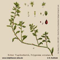 Vogelknöterich, Polygonum aviculare, Historisches Bild