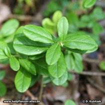 Preiselbeere (Vaccinium vitis-idaea), Blätter