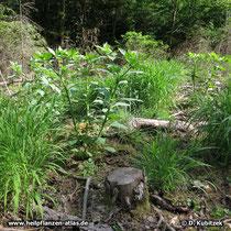 Tollkirsche (Atropa belladonna), typischer Standort auf einer Kahlschlagfläche im Wald