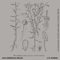 Saat-Lein, Linum usitatissimum; Historisches Bild