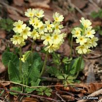 Hohe Schlüsselblume (Primula elatior), Wuchsform