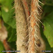 Taigawurzel Zweig mit Stacheln