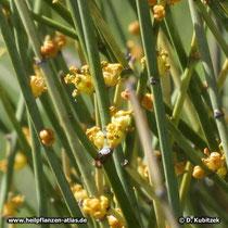 Mongolisches Meerträubel (Ephedra equisetina) Blüten