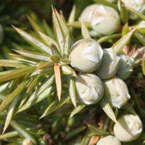"""Gewöhnlicher Wacholder (Juniperus communis), """"Beeren"""" (botanisch: Beerenzapfen, Scheinfrüchte)"""