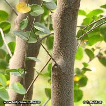 Seifenrindenbaum (Quillaja saponaria) jüngere Borke