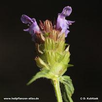 Gewöhnliche Braunelle (Prunella vulgaris), Blütenstand von schräg unten gesehen