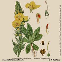 Großblütige Königskerze, Verbascum densiflorum, Historische Grafik