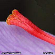 Echter Safran (Crocus sativus), das obere Ende eines Narbenschenkels