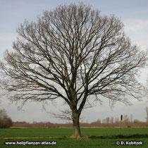 Gleichmäßiger Wuchs einer jüngeren Stiel-Eiche (Quercus robur) . Der Stamm verzweigt sich üblicherweise am Beginn der Krone.