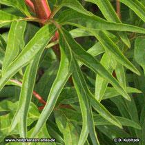 Veitchs Päonie (Paeonia veitchii), Blatt