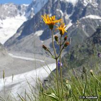 Arnika im Hochgebirge auf rund 2.000 m Höhe (Region Chamonix/Mont Blanc, Frankreich)