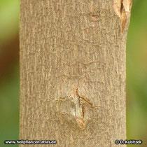Chinarindenbaum (Cinchona pubescens), Borke