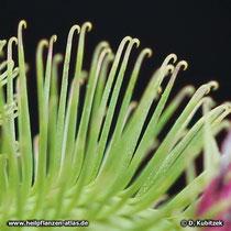 Klette (Arctium lappa, Arctium minus, Arctium tomentosum)