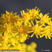Riesen-Goldrute (Solidago gigantea) Blütenstände