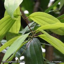 Ceylon-Zimtbaum (Cinnamomum verum)