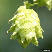 Gewöhnlicher Hopfen (Humulus lupulus), weibliche Blüte