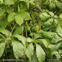 Taigawurzel (Eleutherococcus senticosus), Blätter