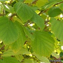 Zaubernuss (Hamamelis virginiana), Blätter