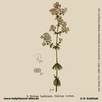 Echtes Labkraut, Galium verum, Historisches Bild