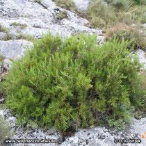 Rosmarin (Rosmarinus officinalis), Standort