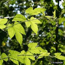 Gewöhnlicher Hopfen (Humulus lupulus), Ranken und Blätter