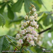 Rosskastanie (Aesculus hippocastanum), Blütenstand