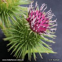 Große Klette (Arctium lappa), Blütenkopf (Blütenkorb)