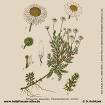 Römische Kamille, Chamaemelum nobile, Historisches Bild