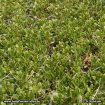 Echte Bärentraube (Arctostaphylos uva-ursi), Wuchsform